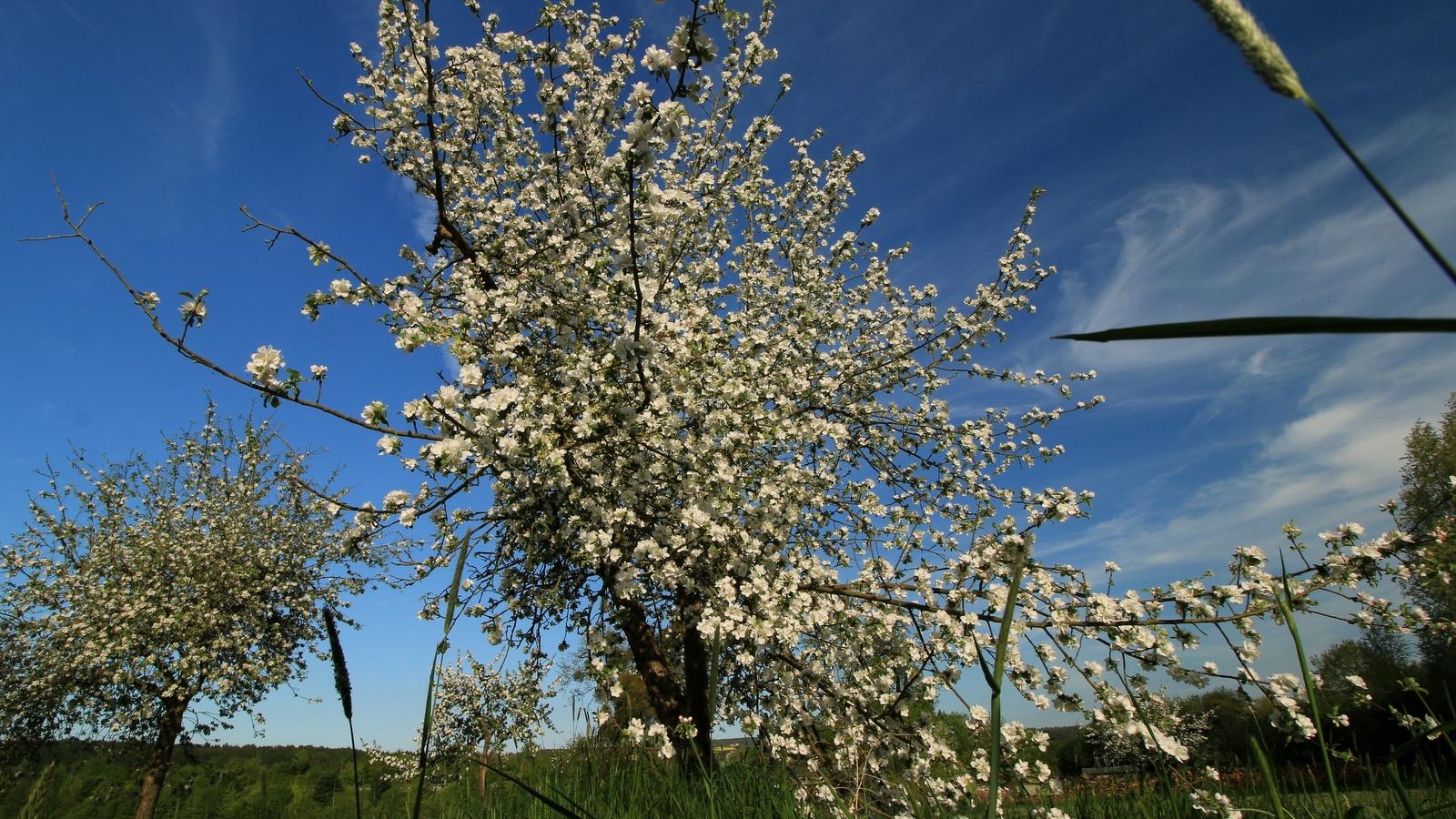 alter Obstbaum in voller Blühte