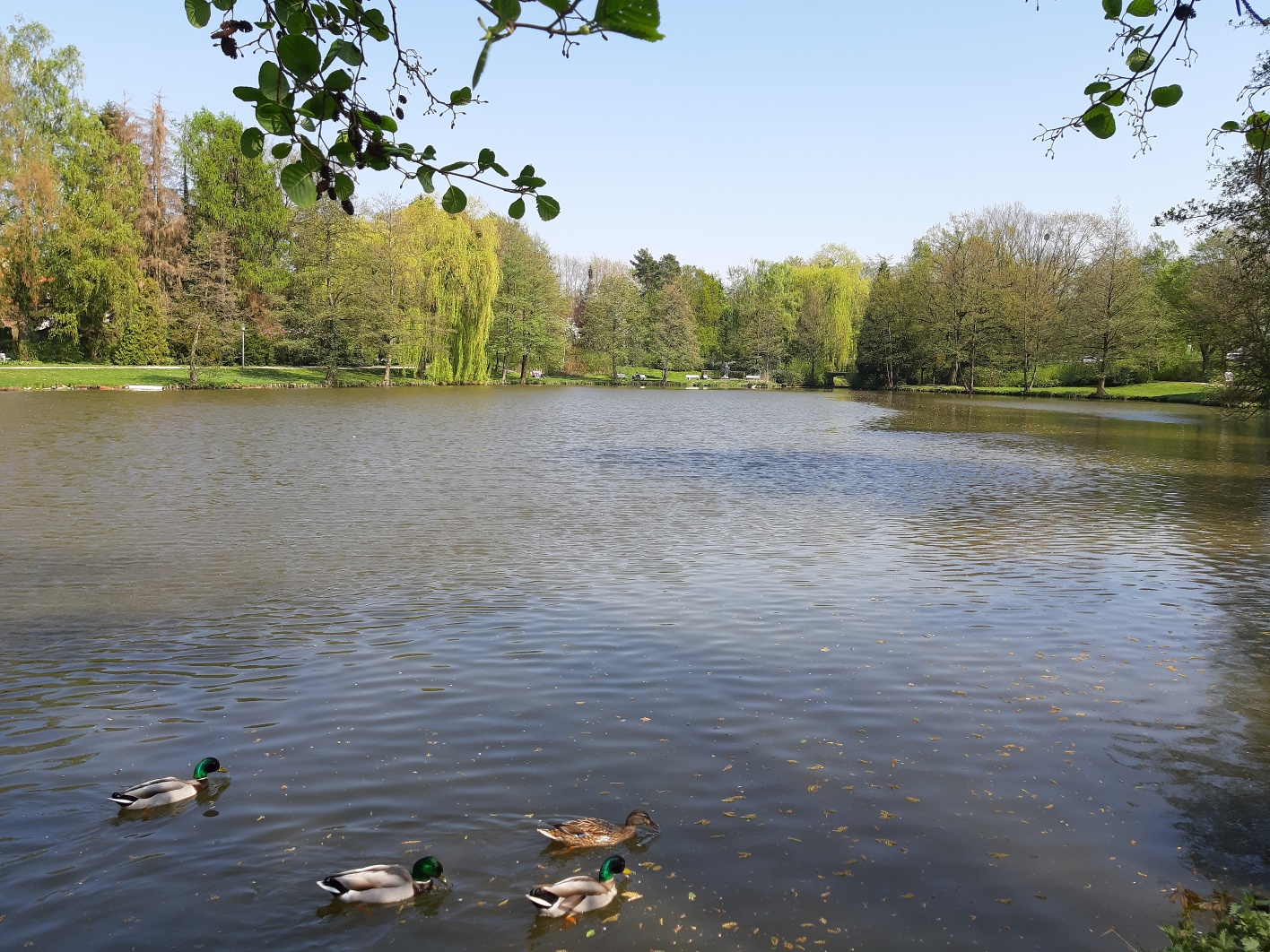 Enten im Seekurpark