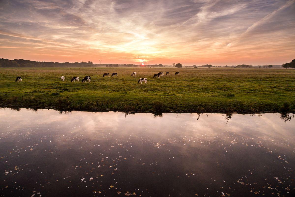 Kühe an der Aller bei Wietze