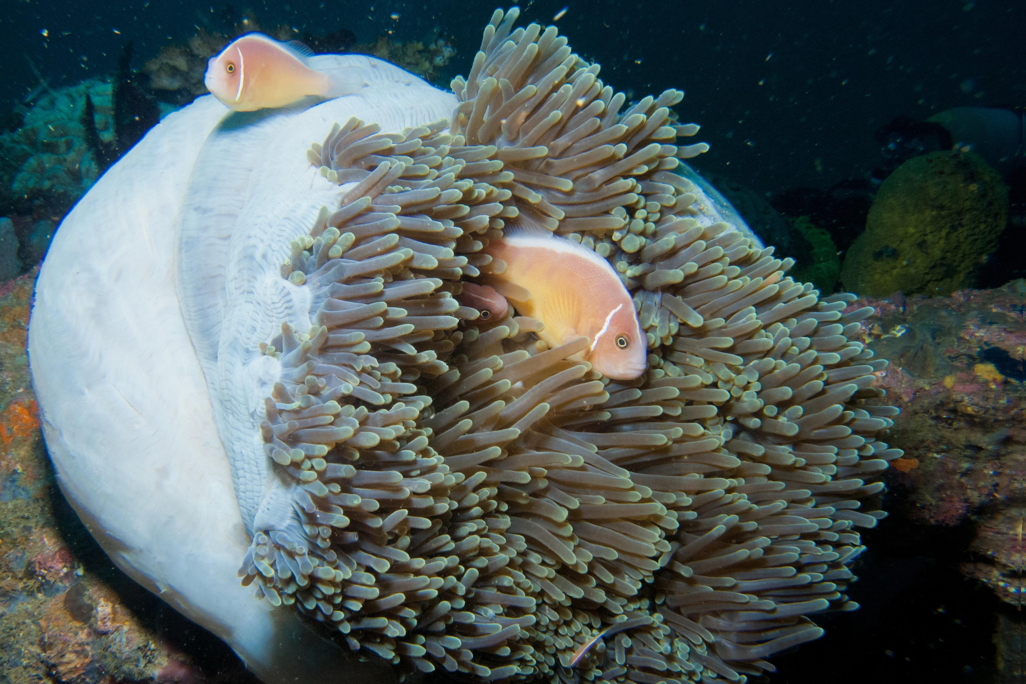 pressebild_anemonenfisch-in-vanuatu.jpg