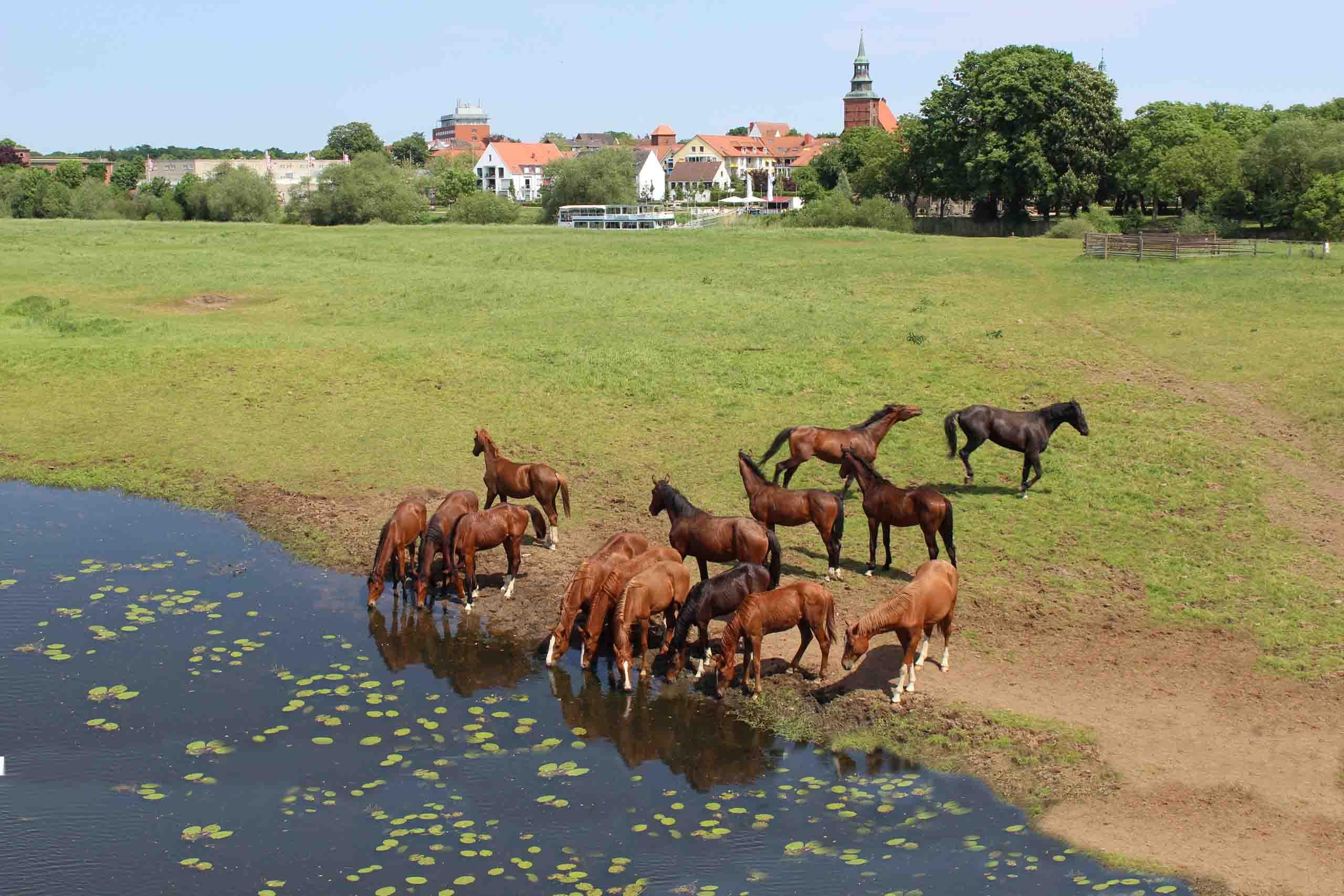 Pferde auf den Allerwiesen bei Verden