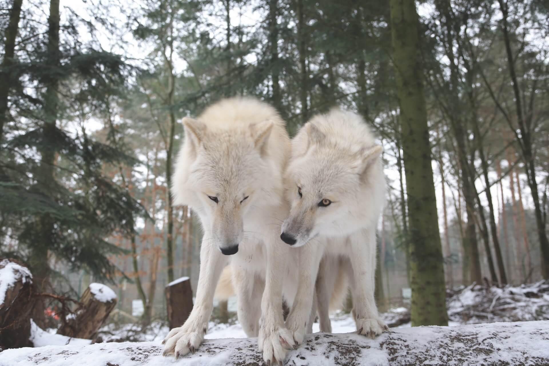 Wolfcenter Dörverden, Hudson Bay Wölfe