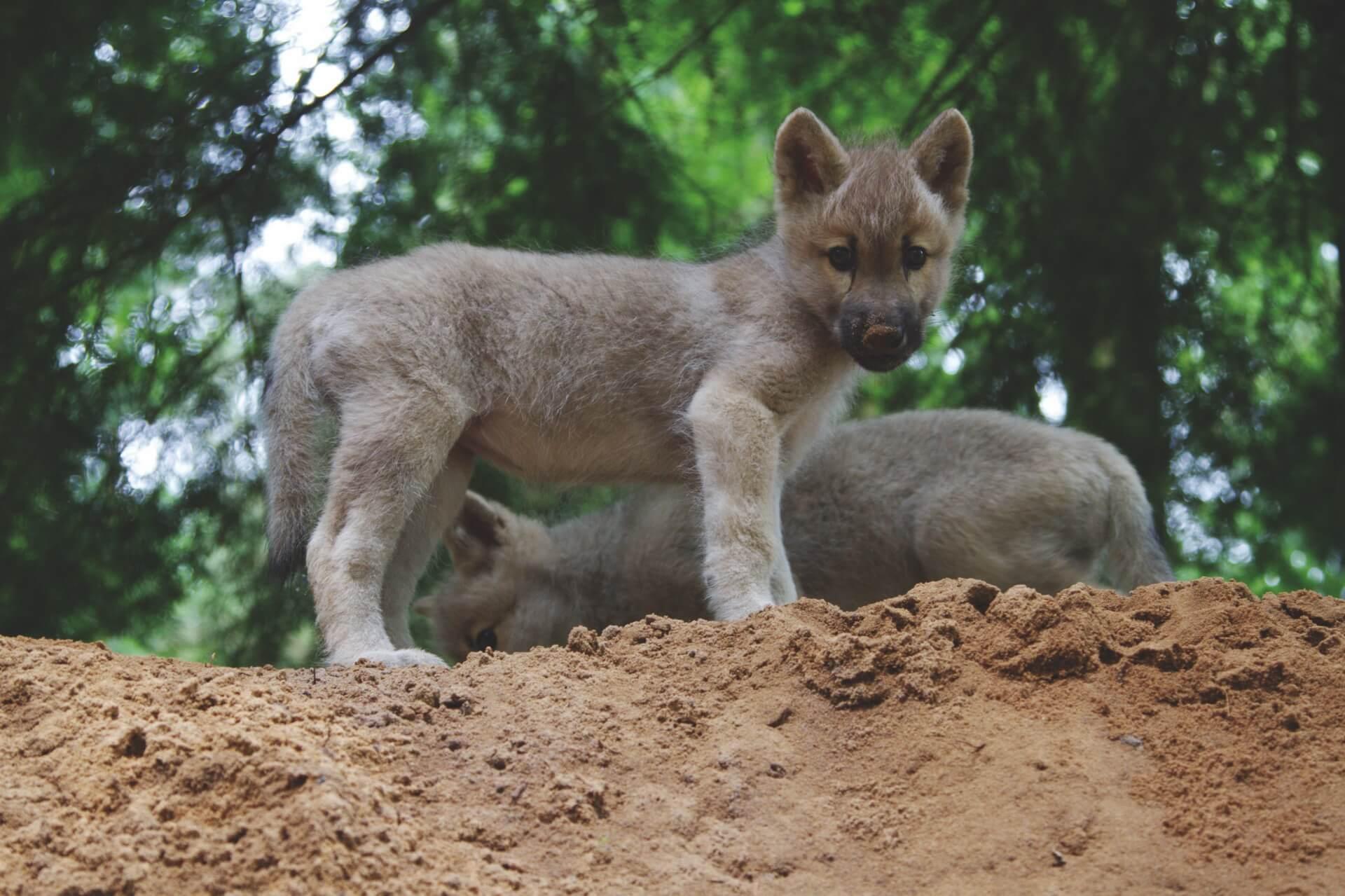 Wolfcenter Dörverden, Wolfswelpen