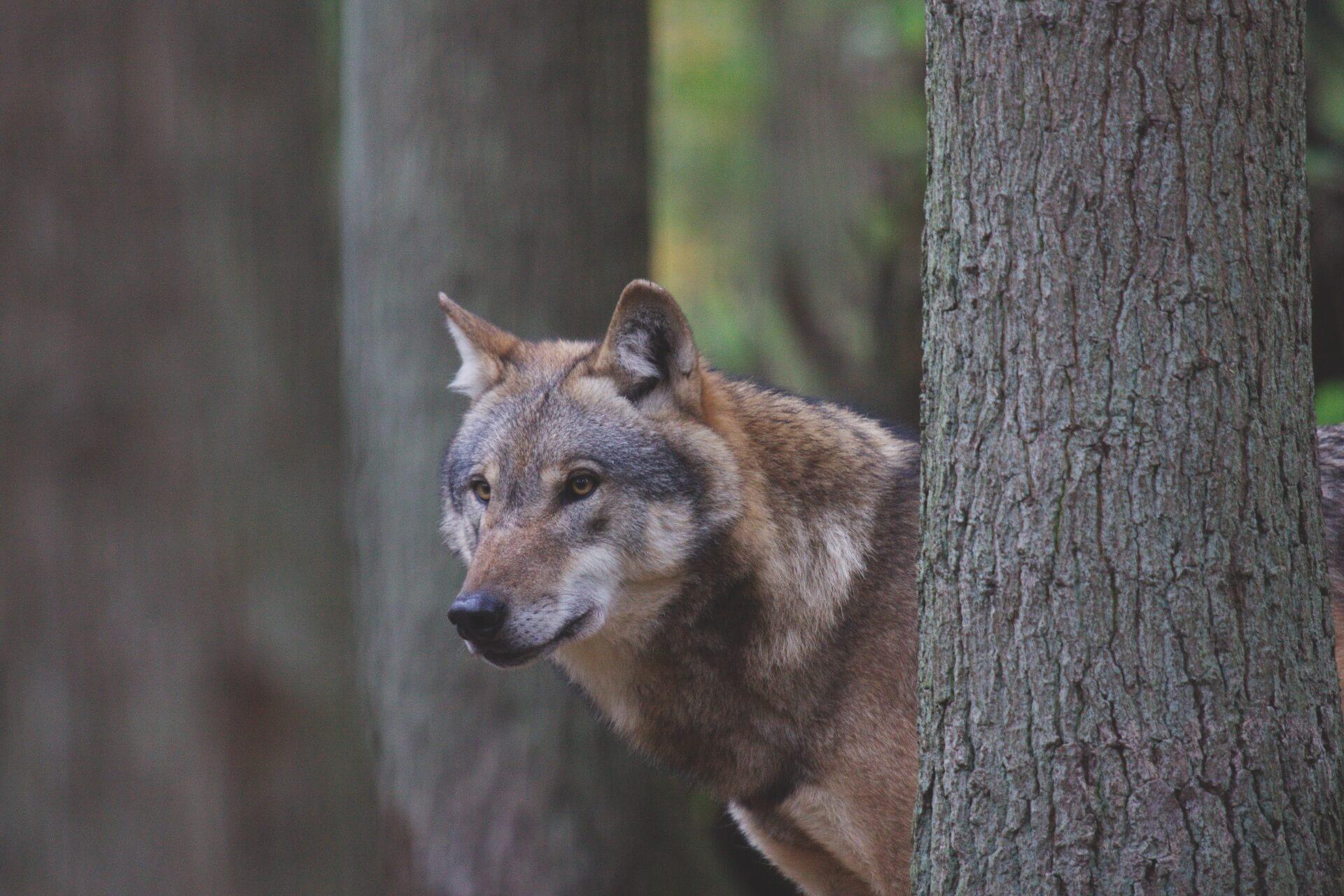 Wolfcenter Dörverden, Wolf