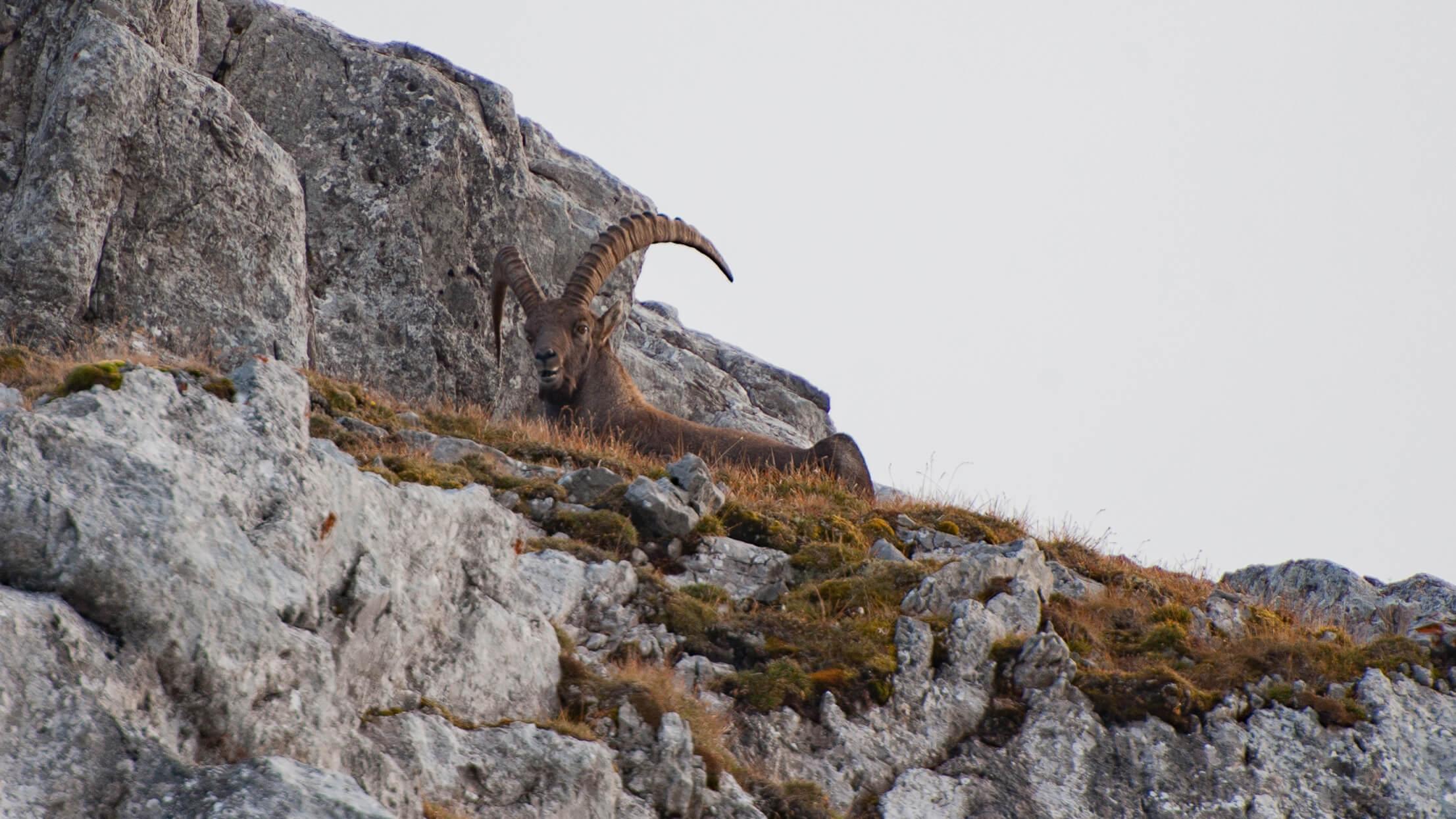 Steinbock-sitzt-auf-dem-Felsen.jpg