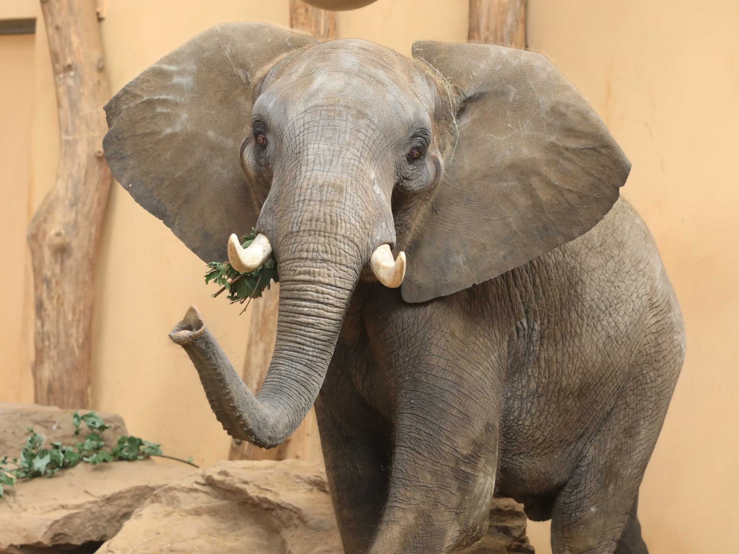 Elefant im Magdeburger Zoo