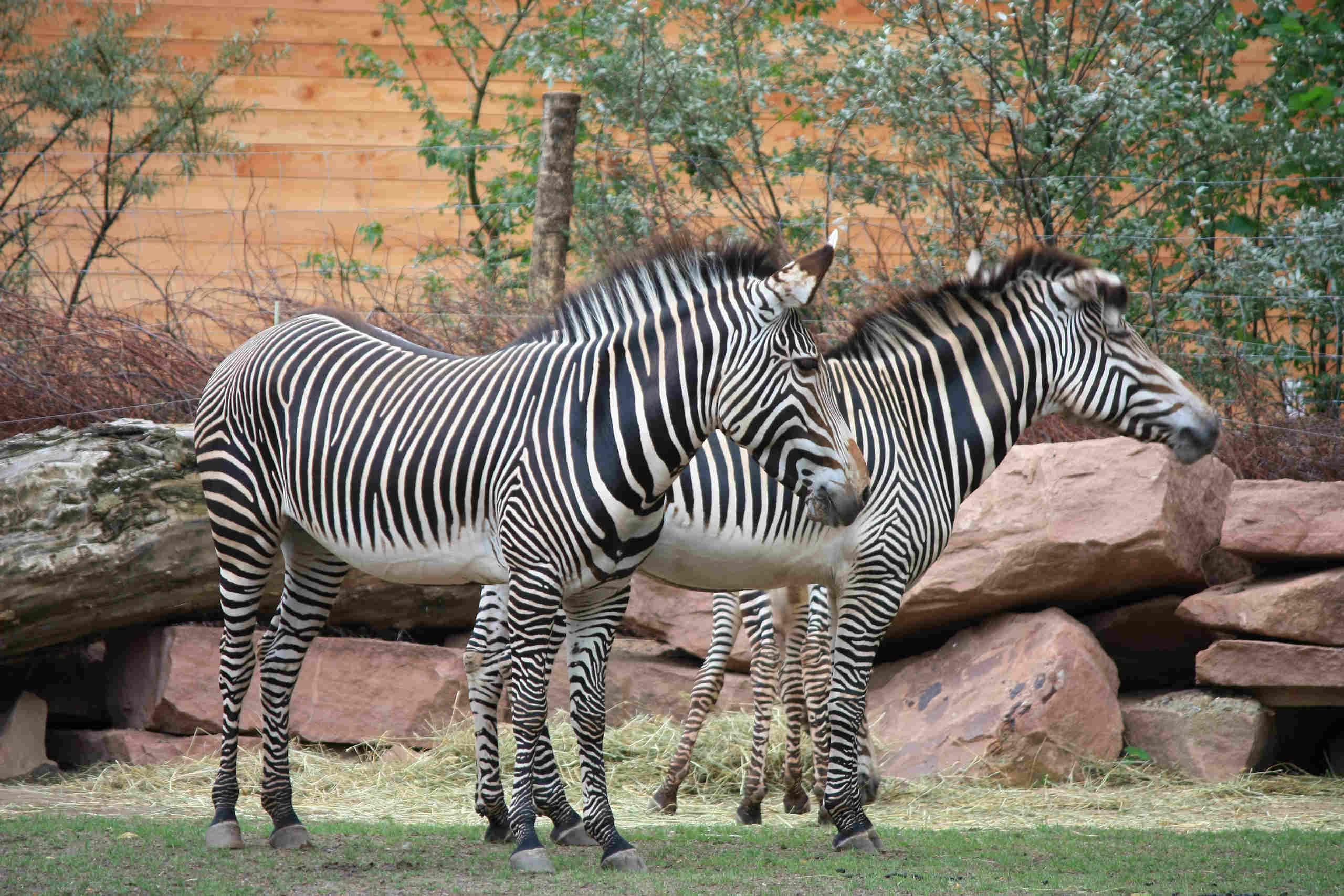 Zebras im Zoo in Magdeburg