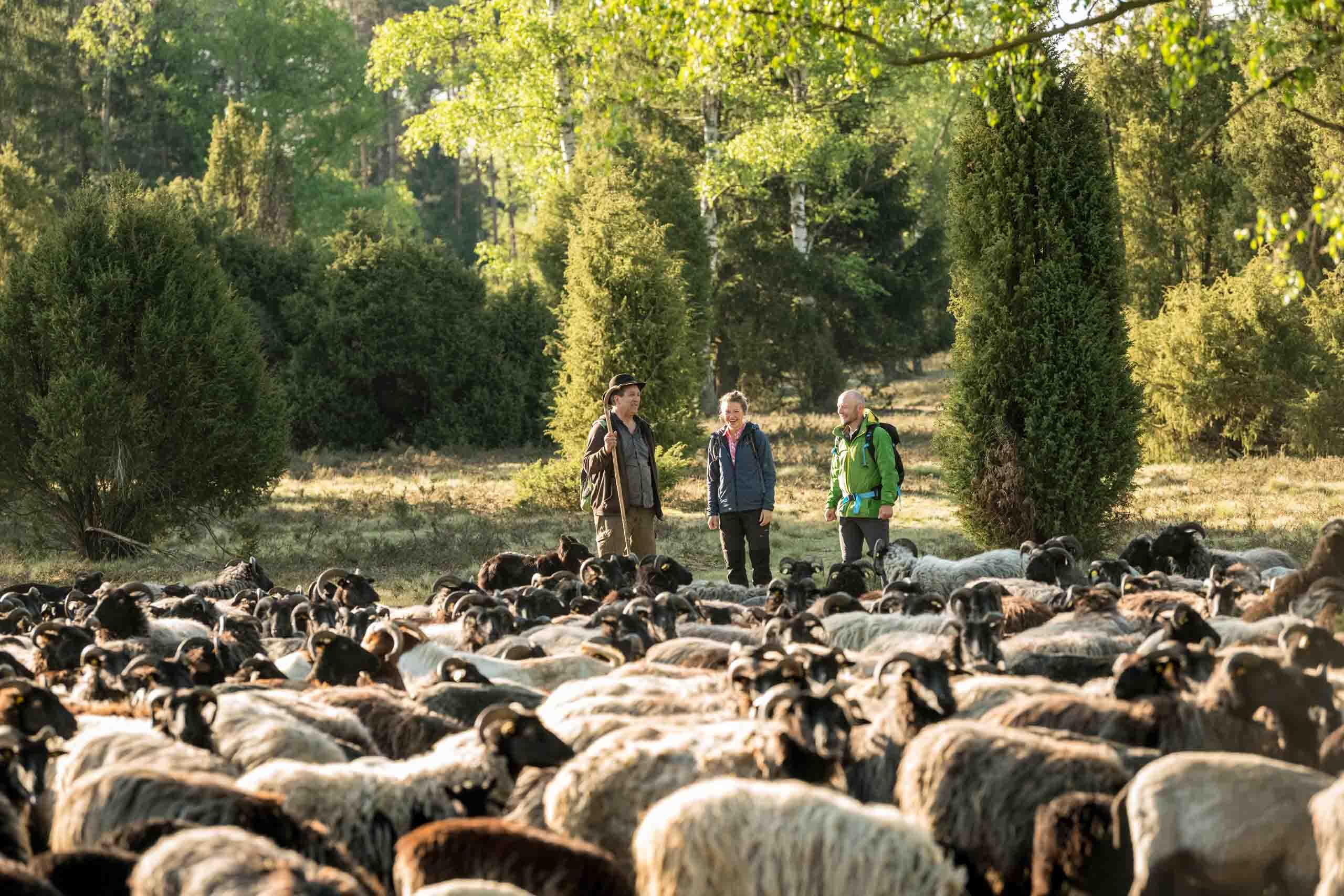 Heidschnucken Herde in der Oberoher Heide im Naturpark Südheide