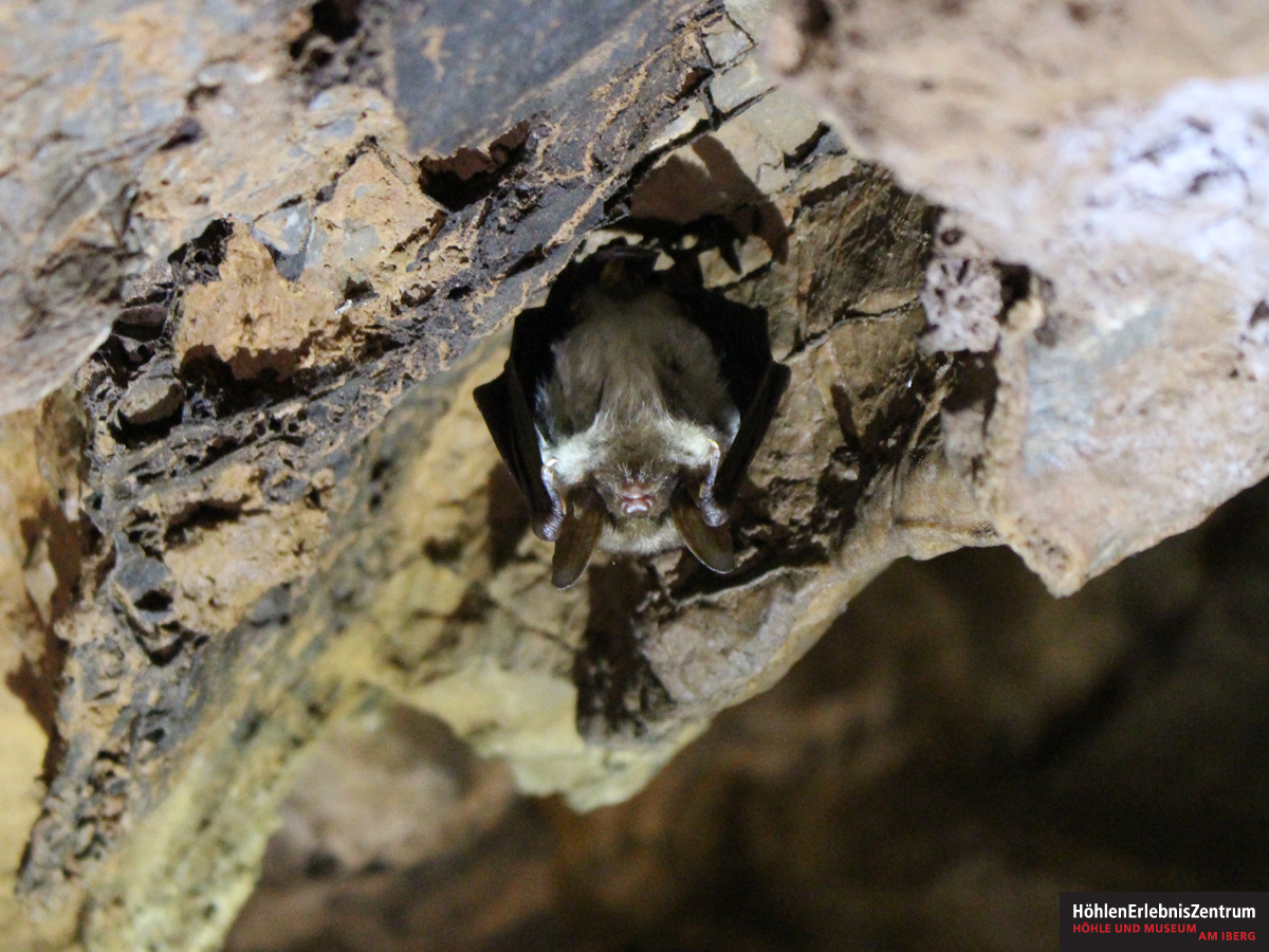 Batnight - Fledermaus in der Iberger Tropfsteinhöhle