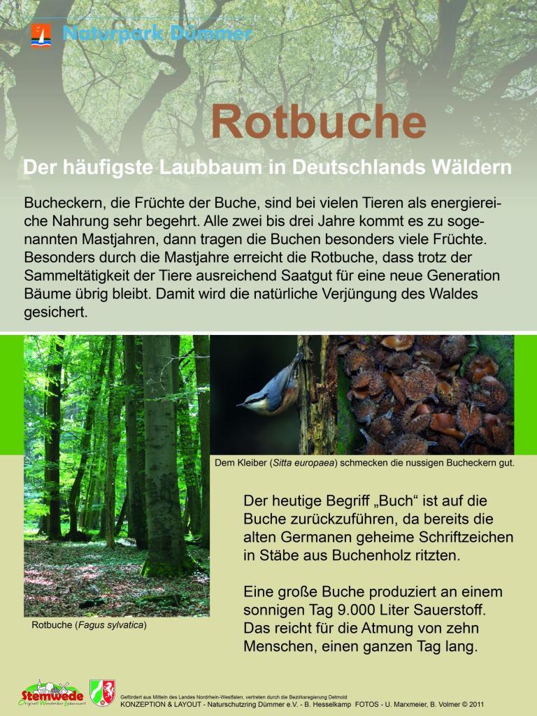 Infotafel Rotbuche