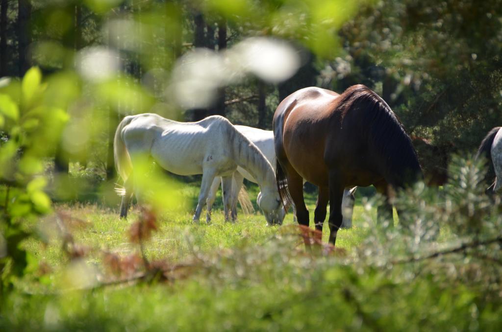 Senner Pferde auf der Wildweide
