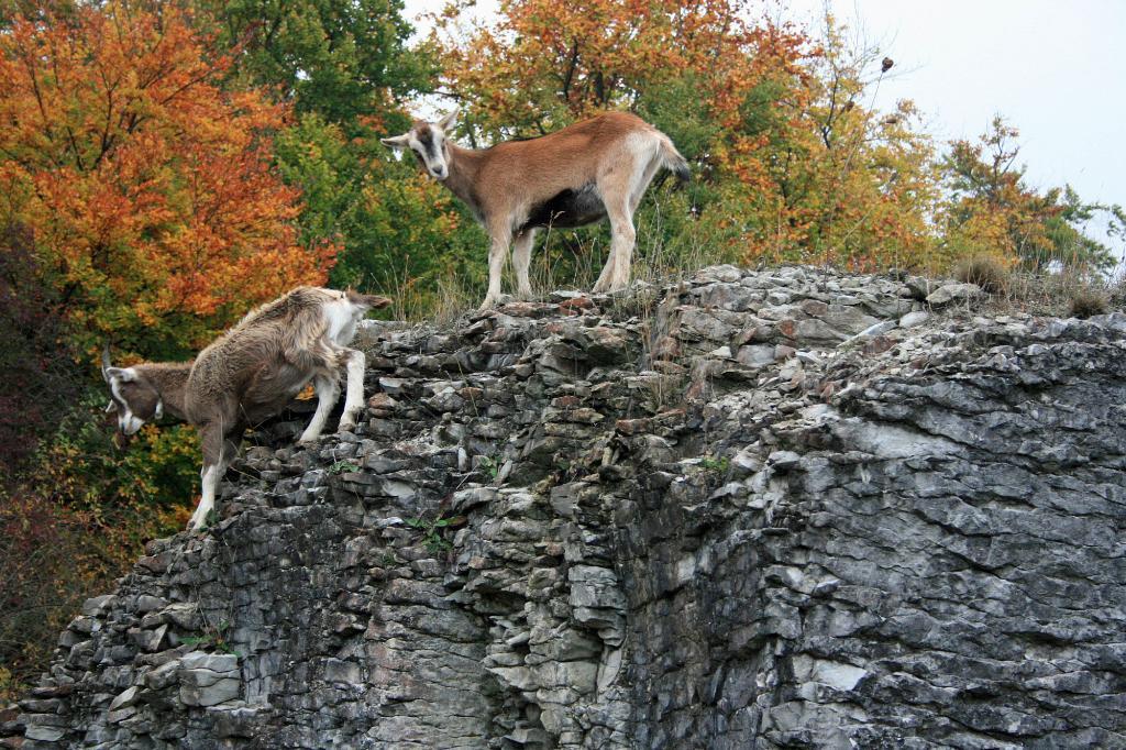 Ziegen im Steinbruch