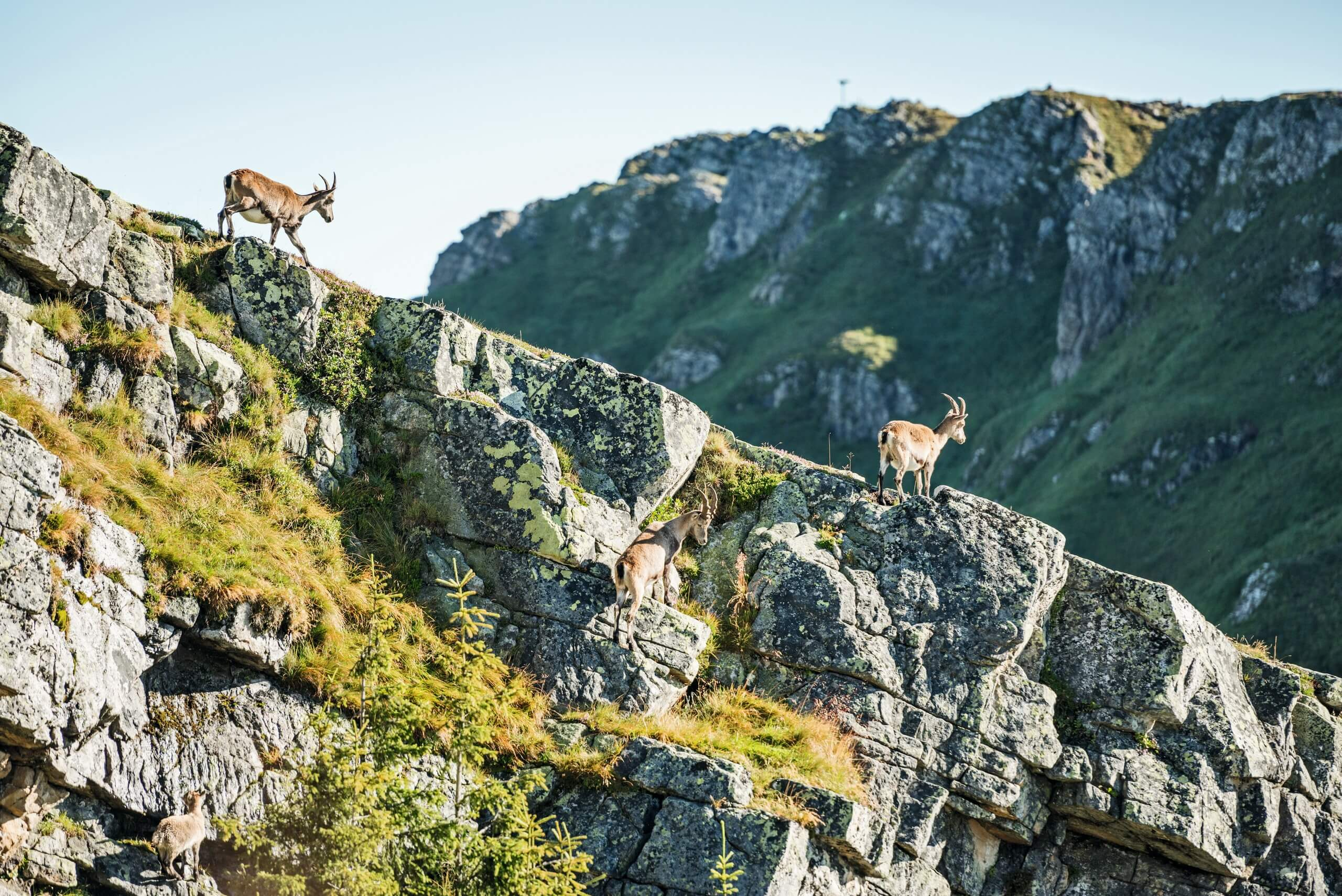 niederhorn-wildbeobachtungen-herbst-steinboecke-jung-grat
