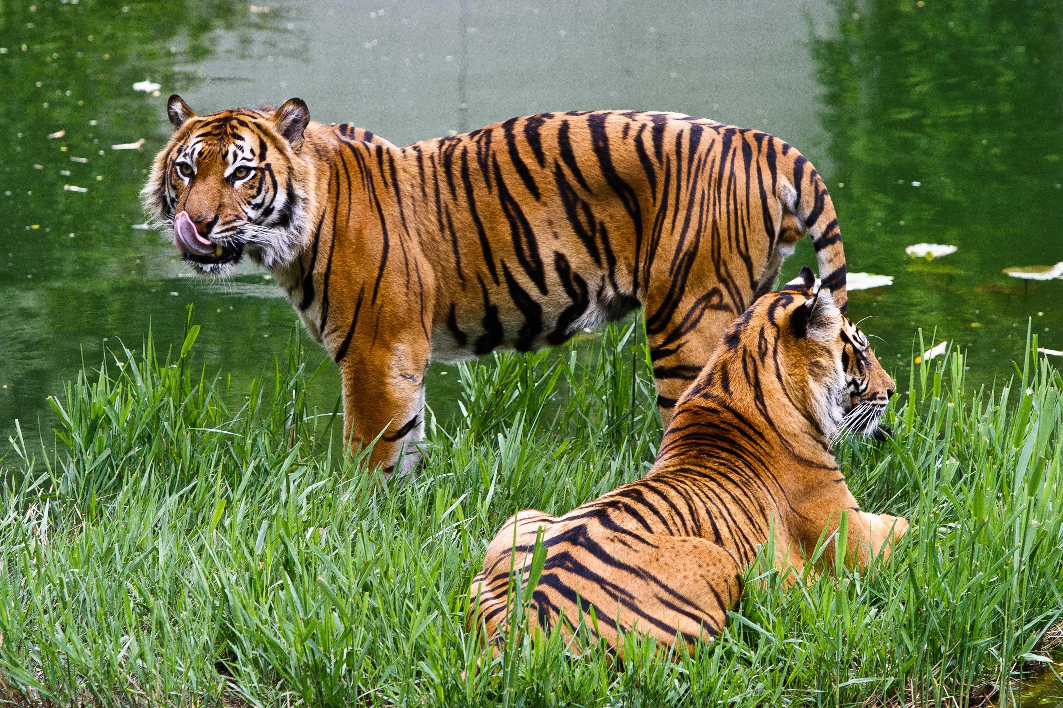 KW_16c_Tigerin_Dumai_wird_20_Jahre_17.04.2020_Bild_2_Archivfoto_Harald_Löffler_-_Eye_of_the_Tiger.jpg