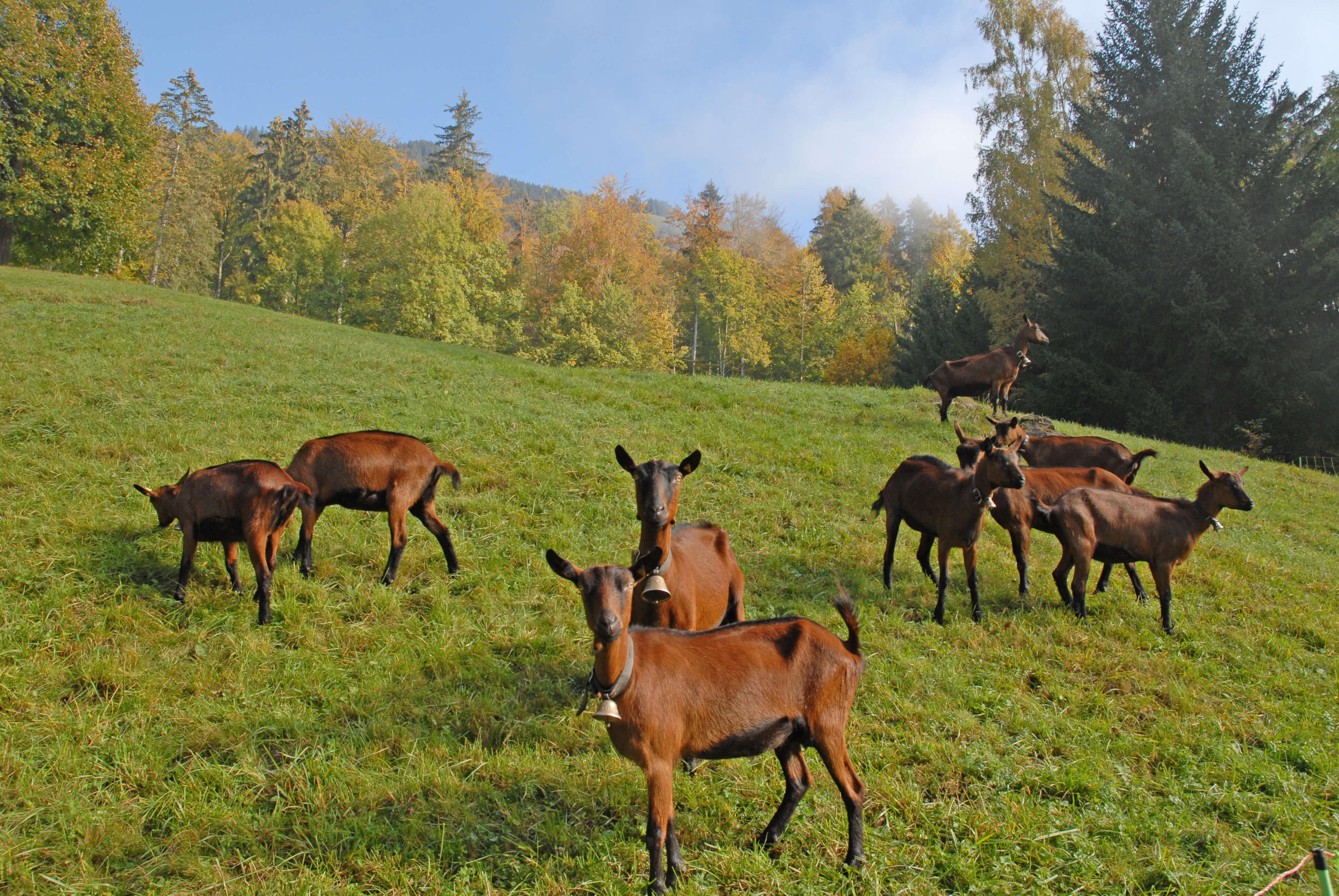 Die braunen Ziegen auf der Alp Hösel