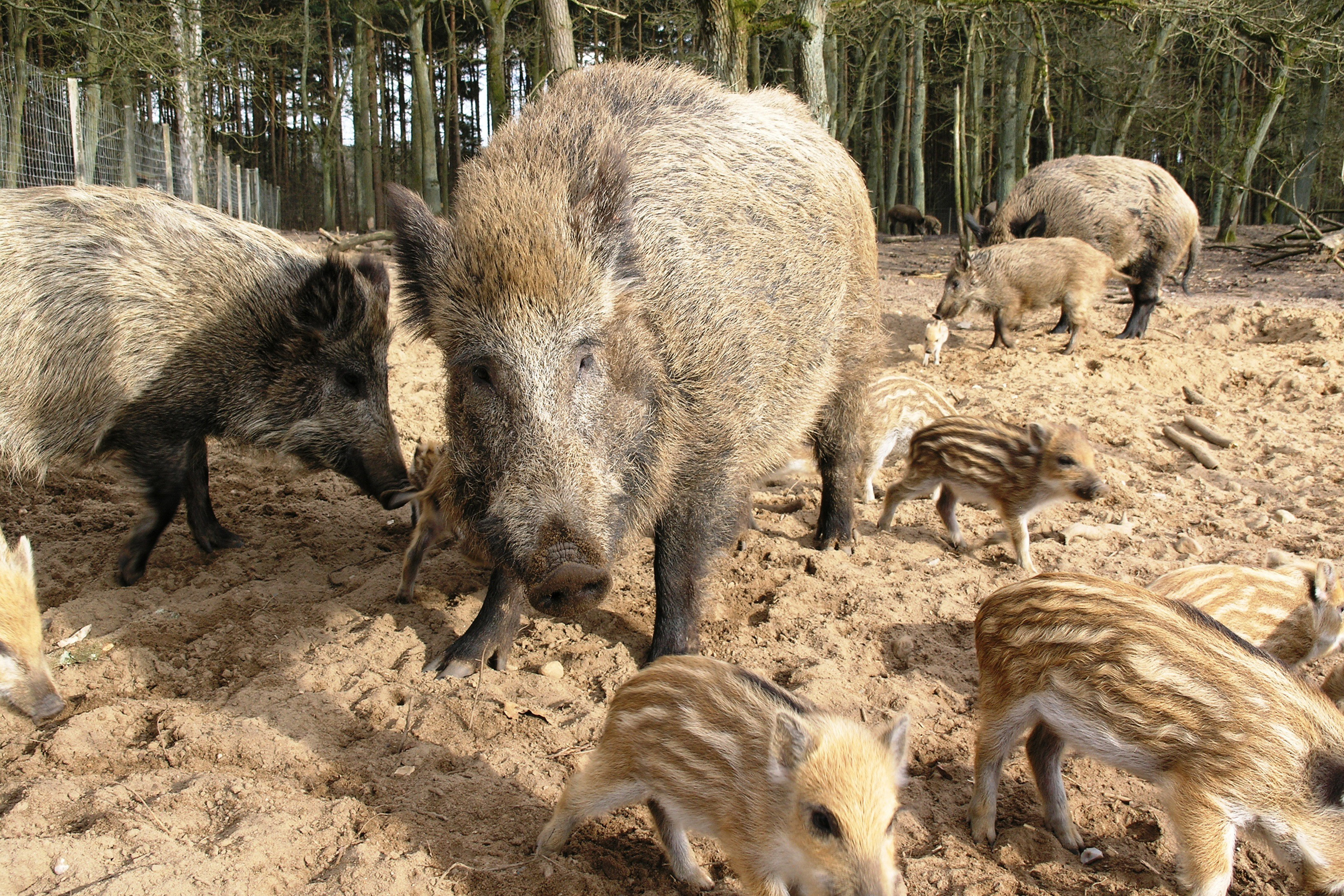 Wildschweine am Pirschgang