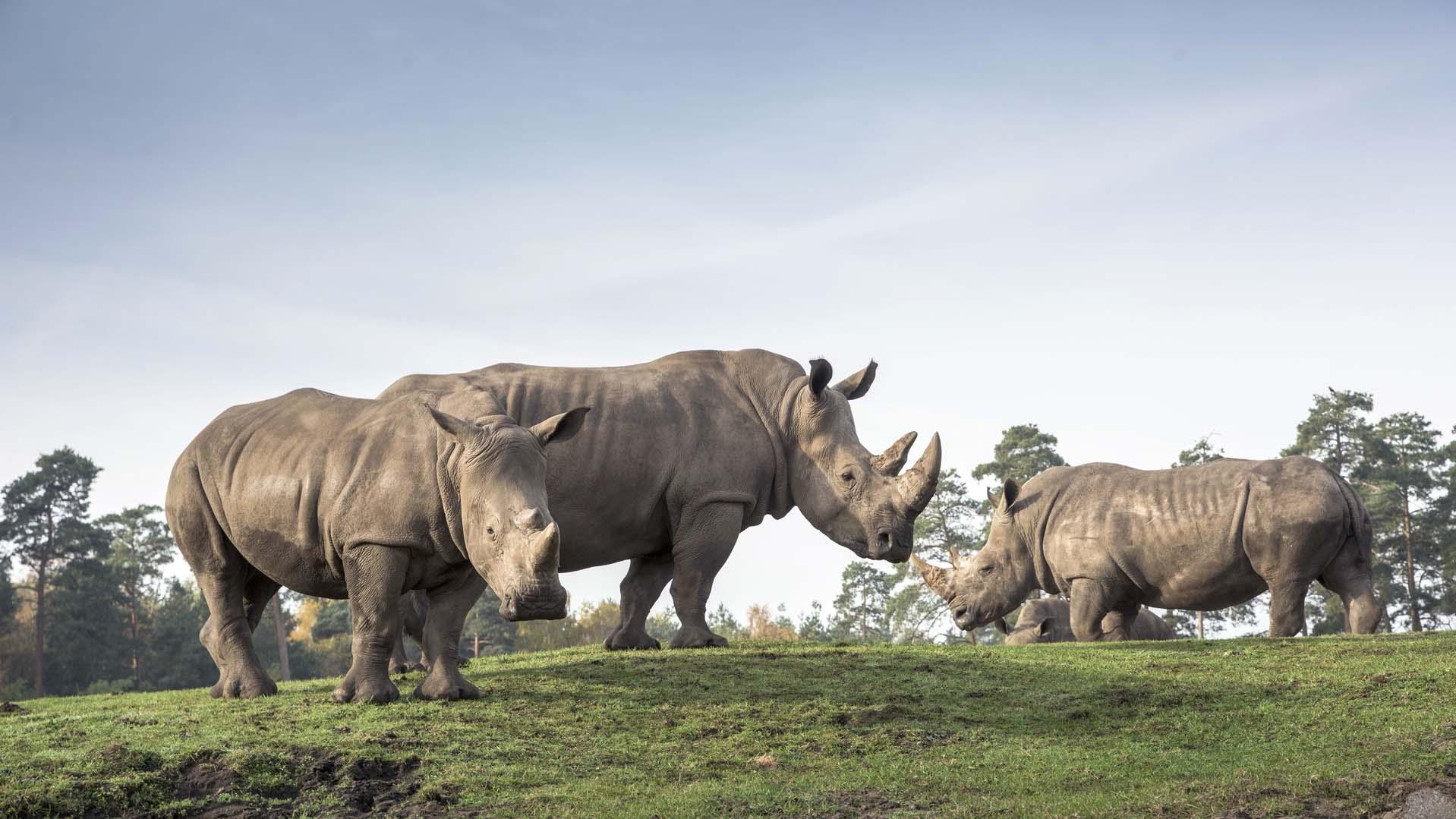 serengeti-safari-breitmaulnashorn
