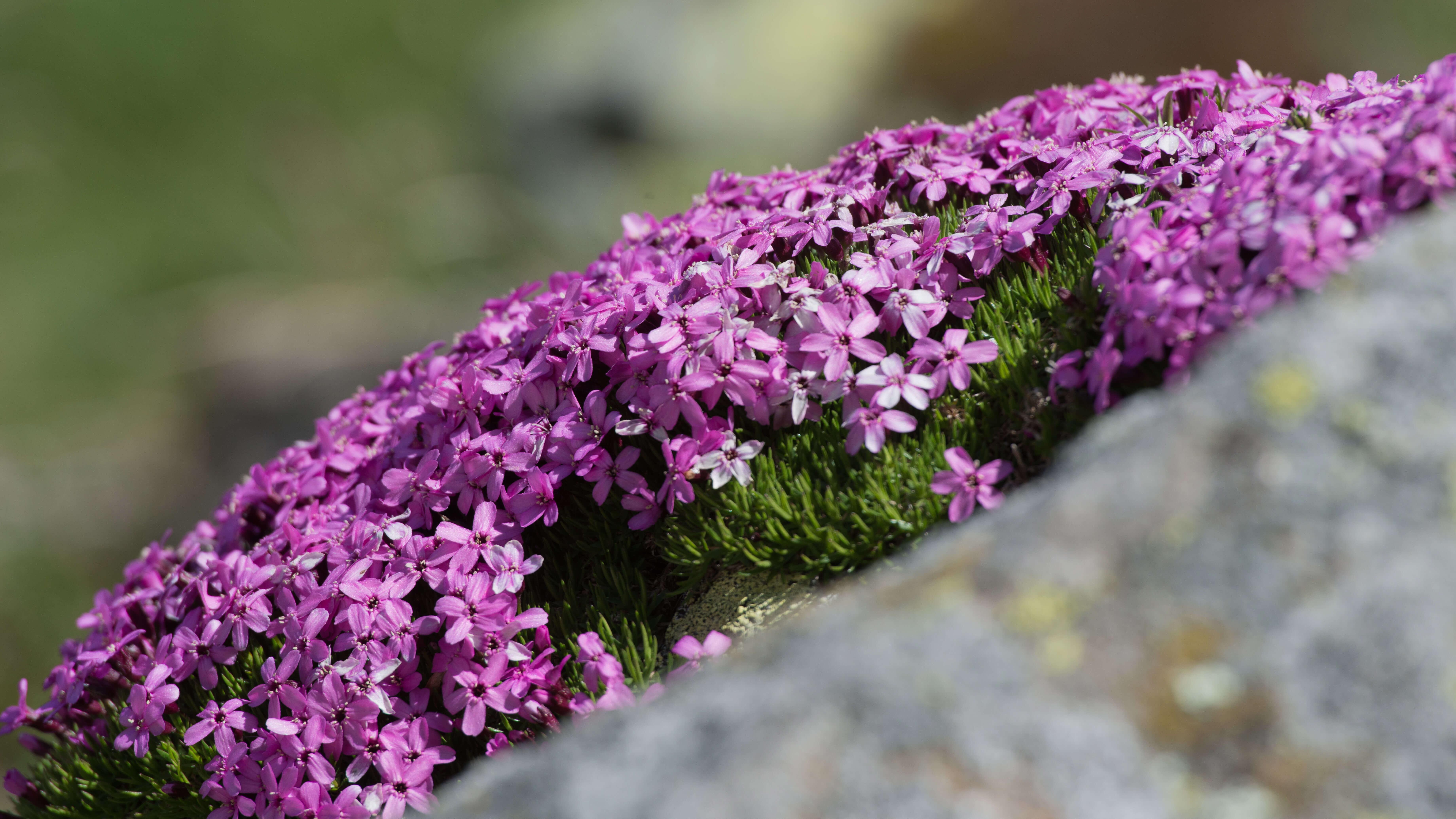 Geniesse unterwegs die Ffarbenpracht der Bergblumen