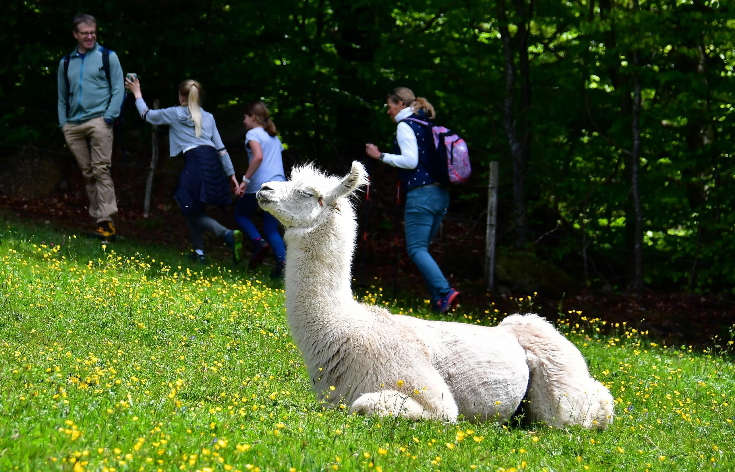 aeschi-lama-alpaca-farm-familie-sommer