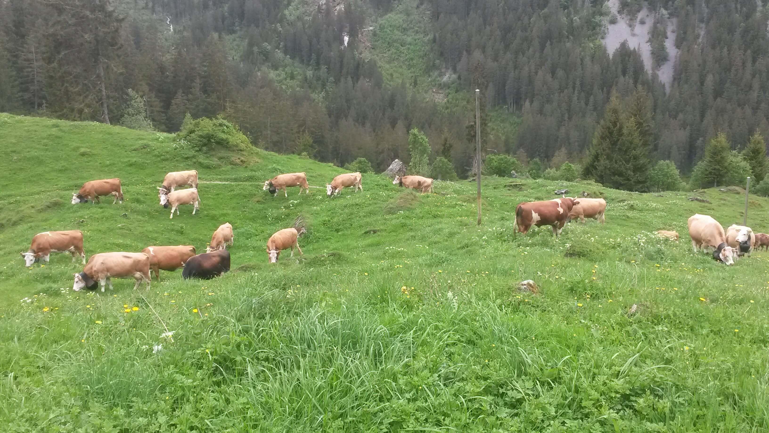 weidende Kühe