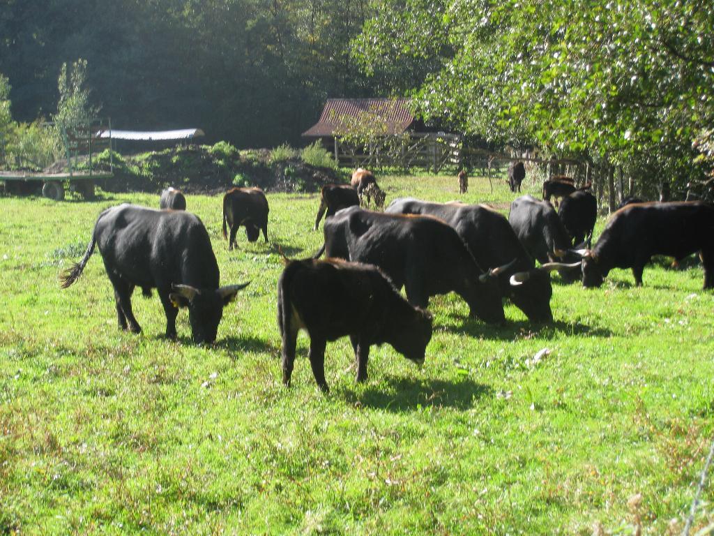 Auerochsen-Herde im Aatal