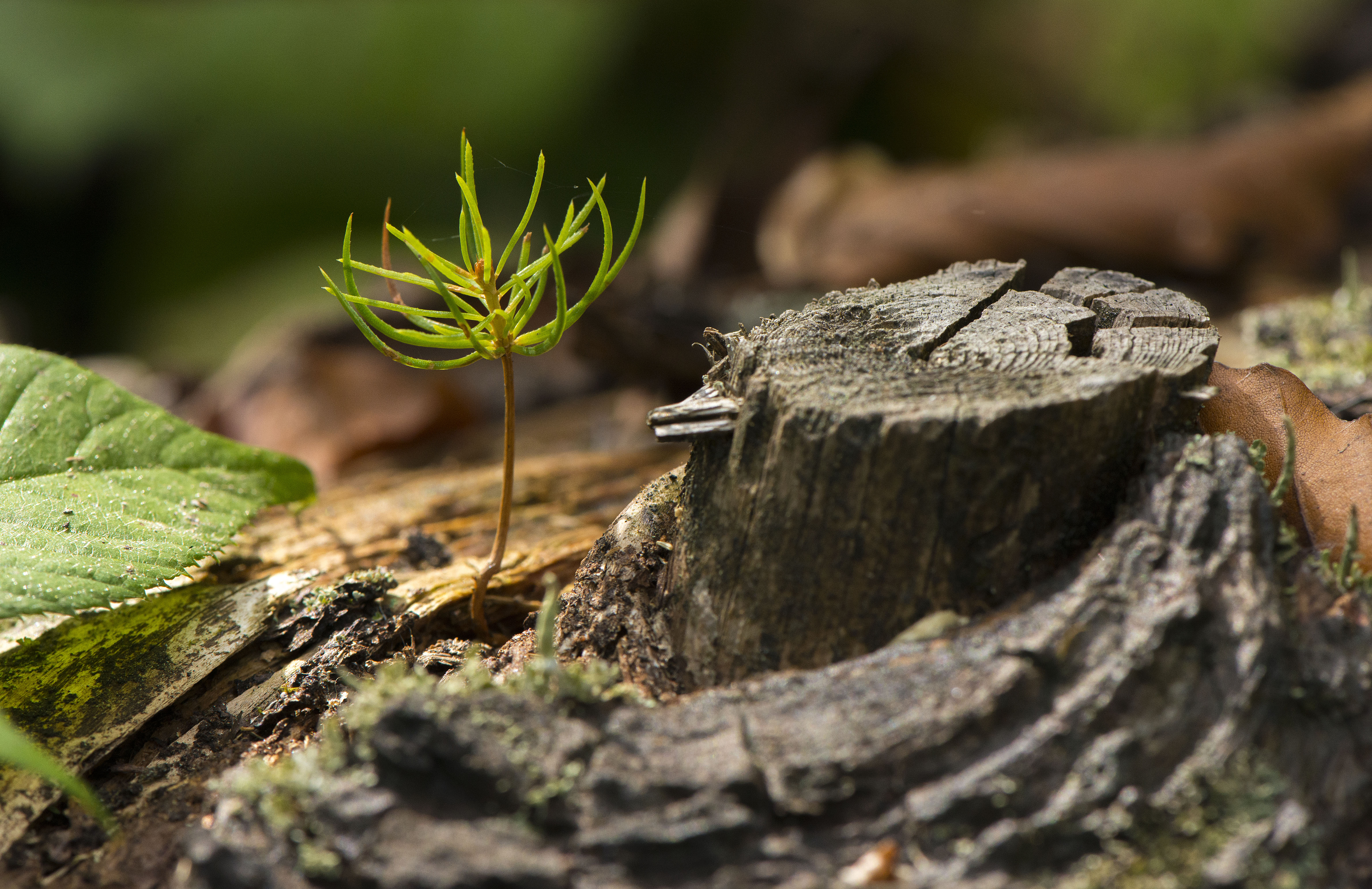A young spruce germinating on a dead one in the Bayerischer Wald NP, Germany. © Daniel Rosengren