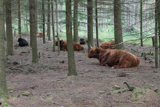 Schottischen Hochlandrinder