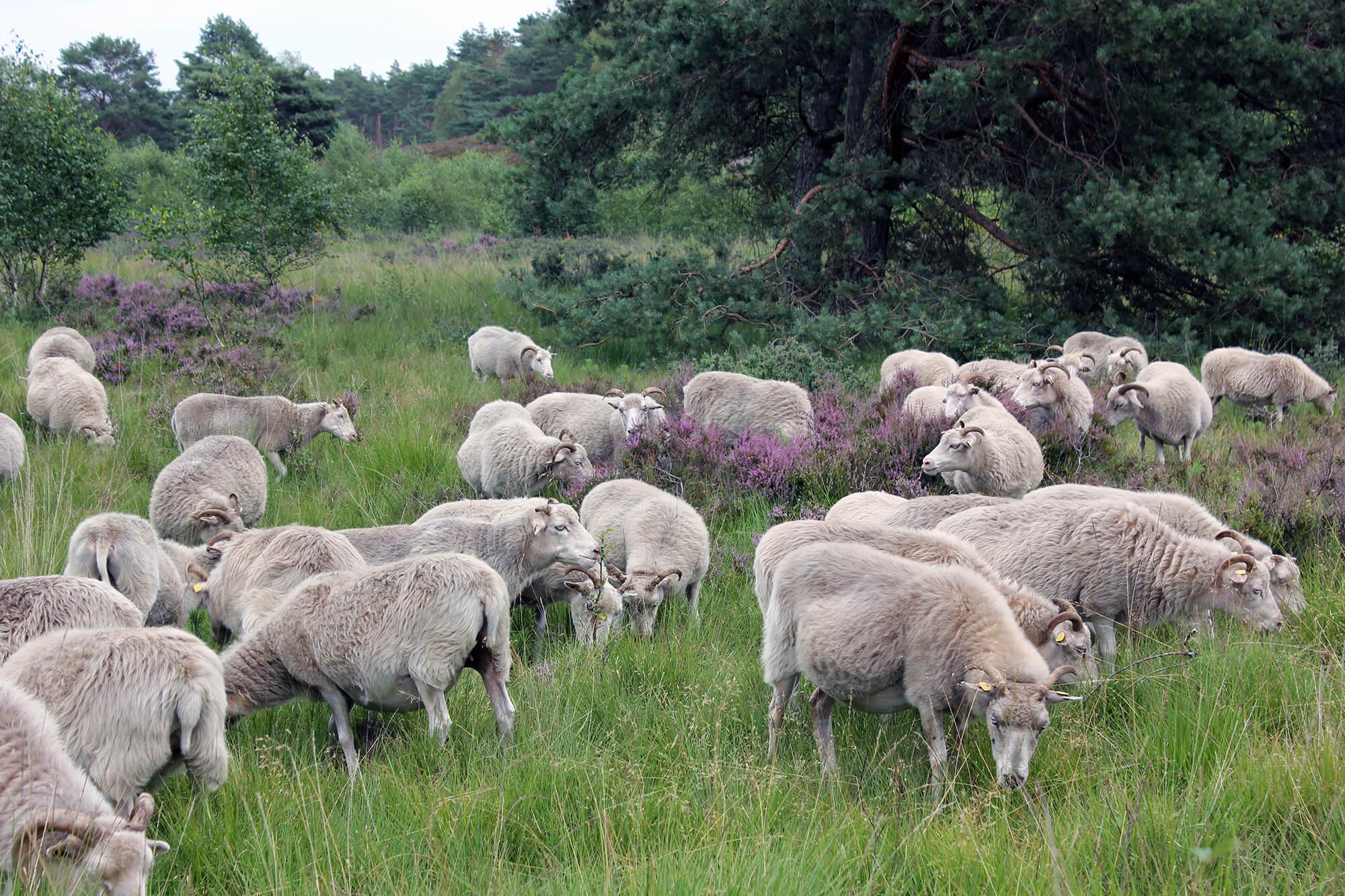 Heidschnucken in der Heide bei Gifhorn