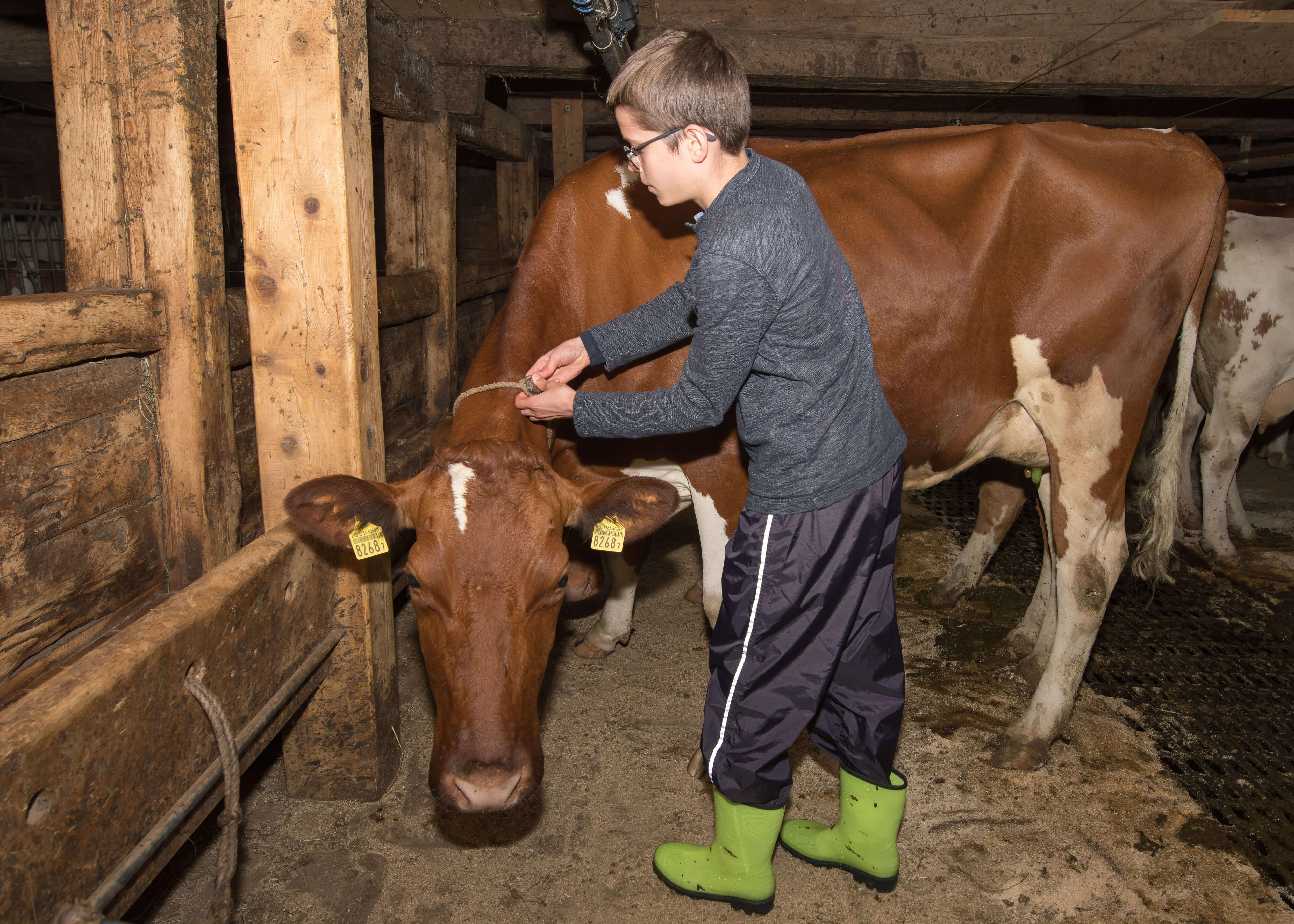 Jede Kuh hat ihren eigenen Platz im Stall