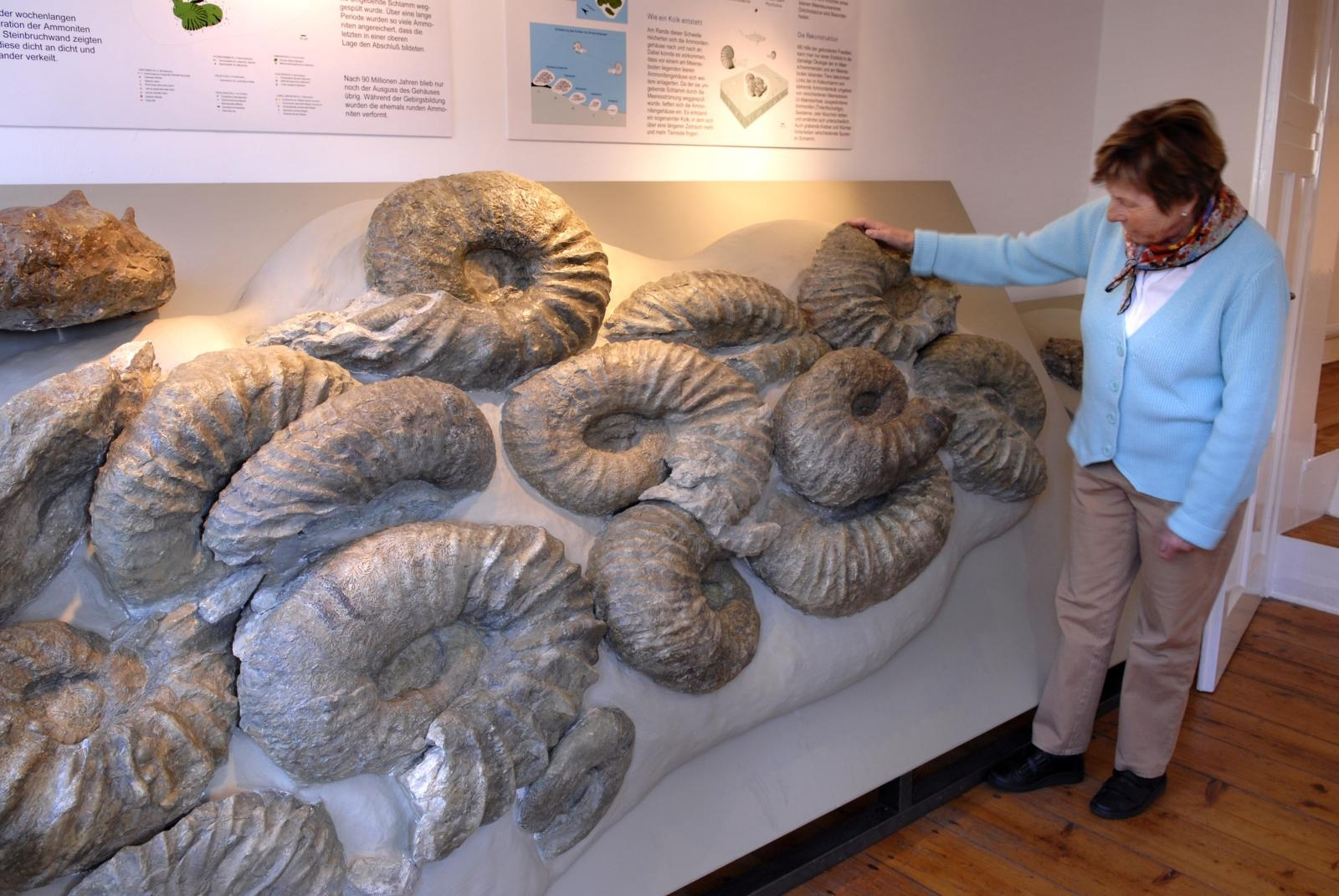 Einzigartige große Ammoniten im Heimathaus Borgholzhausen