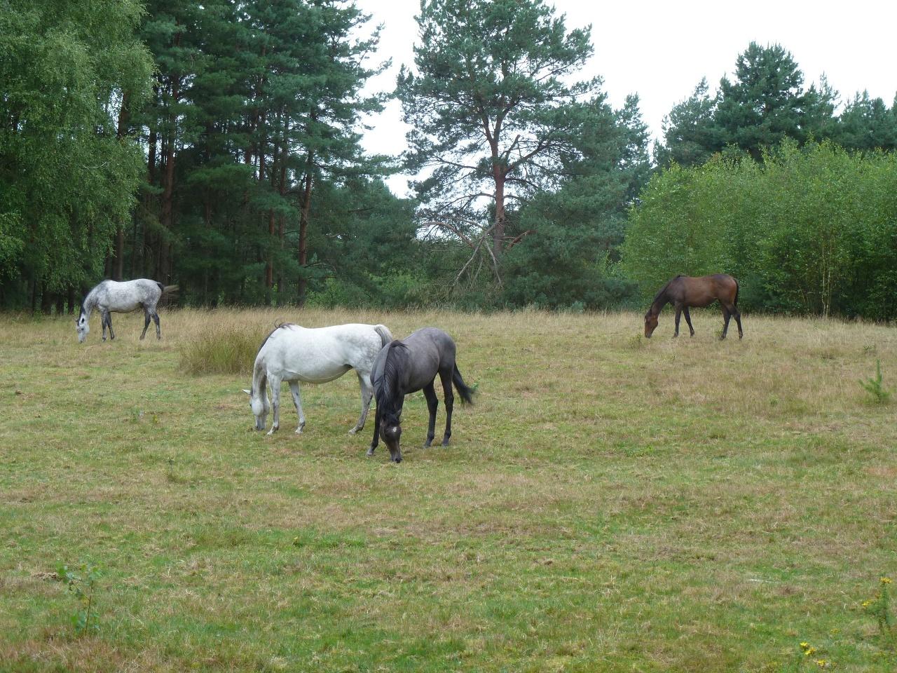 Senner Pferde in der Moosheide