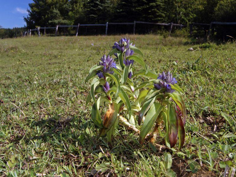 Blühender Kreuzenzian auf den Kalktriften