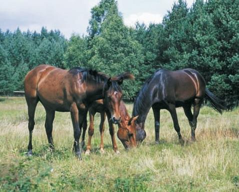 Pferde in der Senne