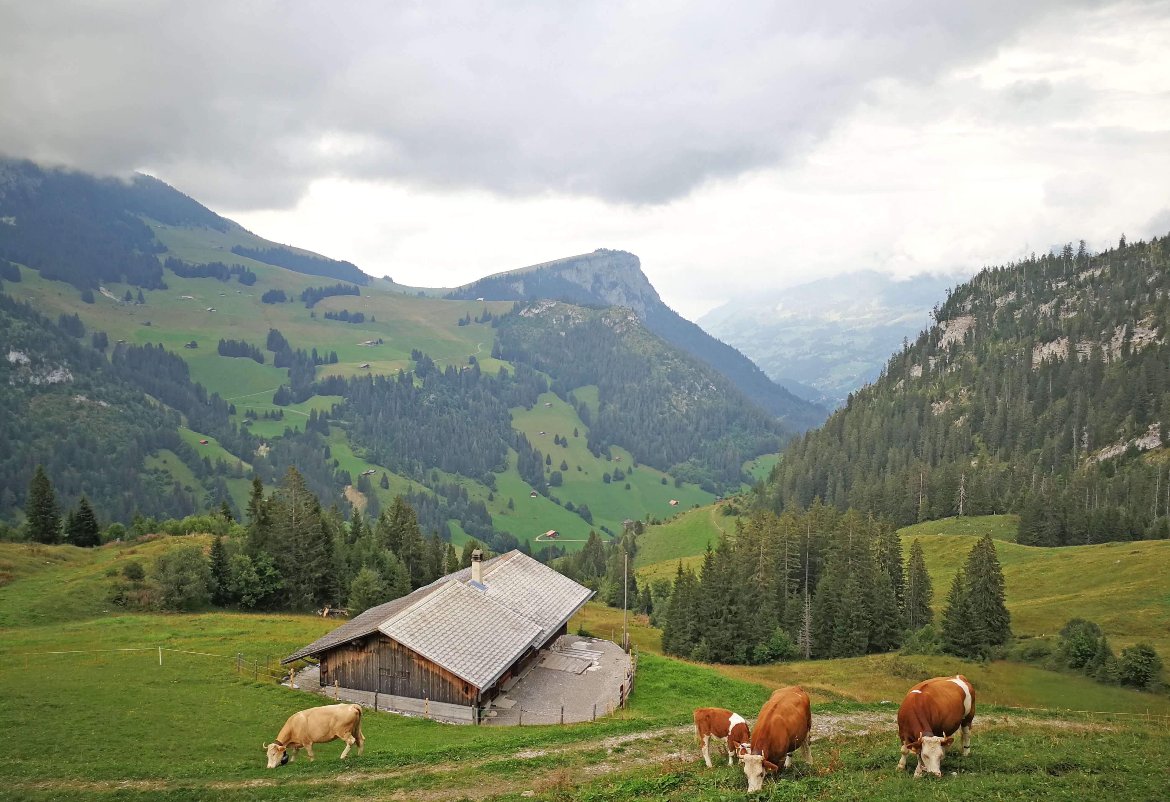Sennhütte Menigwald Aussenansicht Kühe