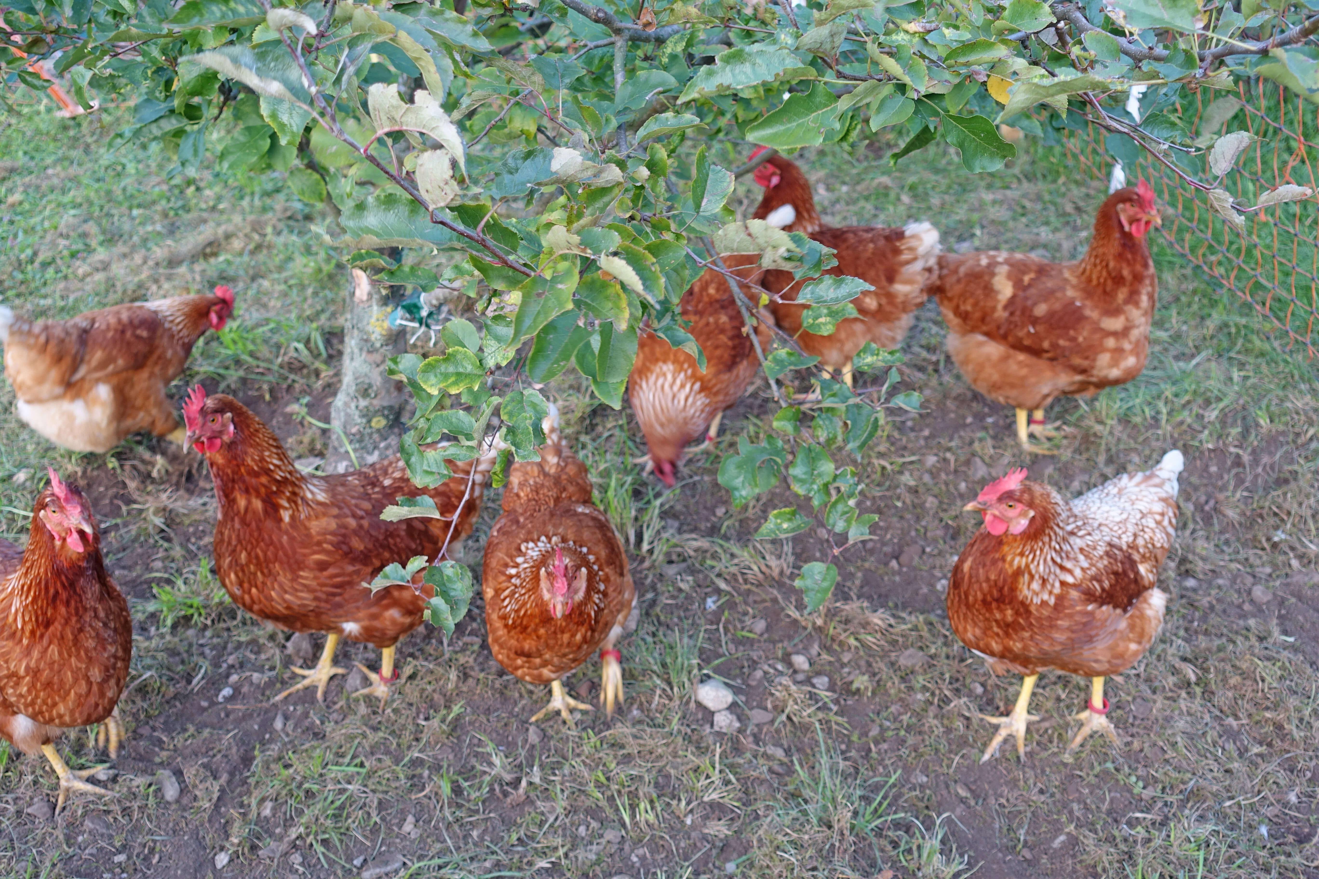 Hühner Eier Direktvermarktung Chrützhof