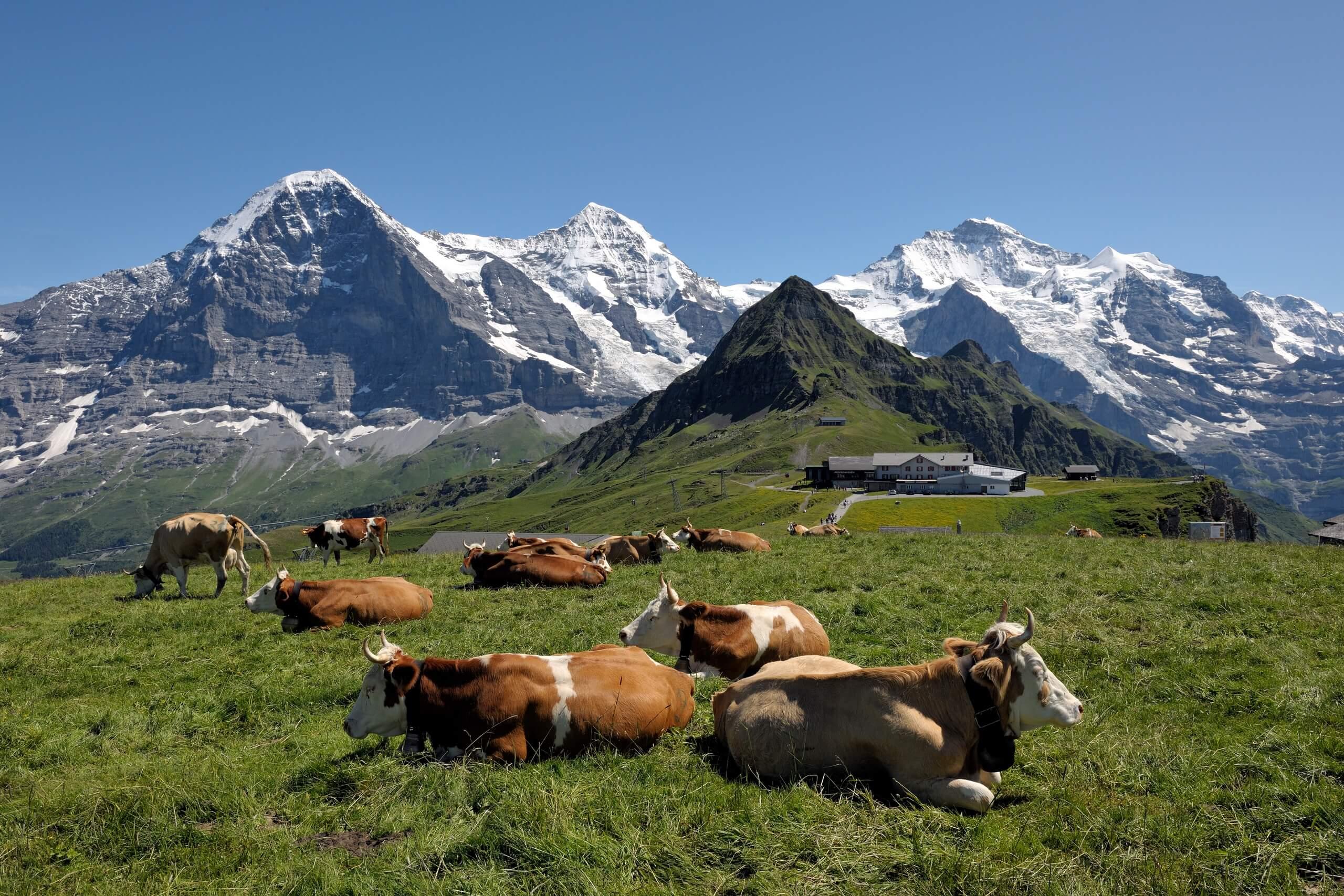 maennlichen-kuehe-wiese-sommer-berge
