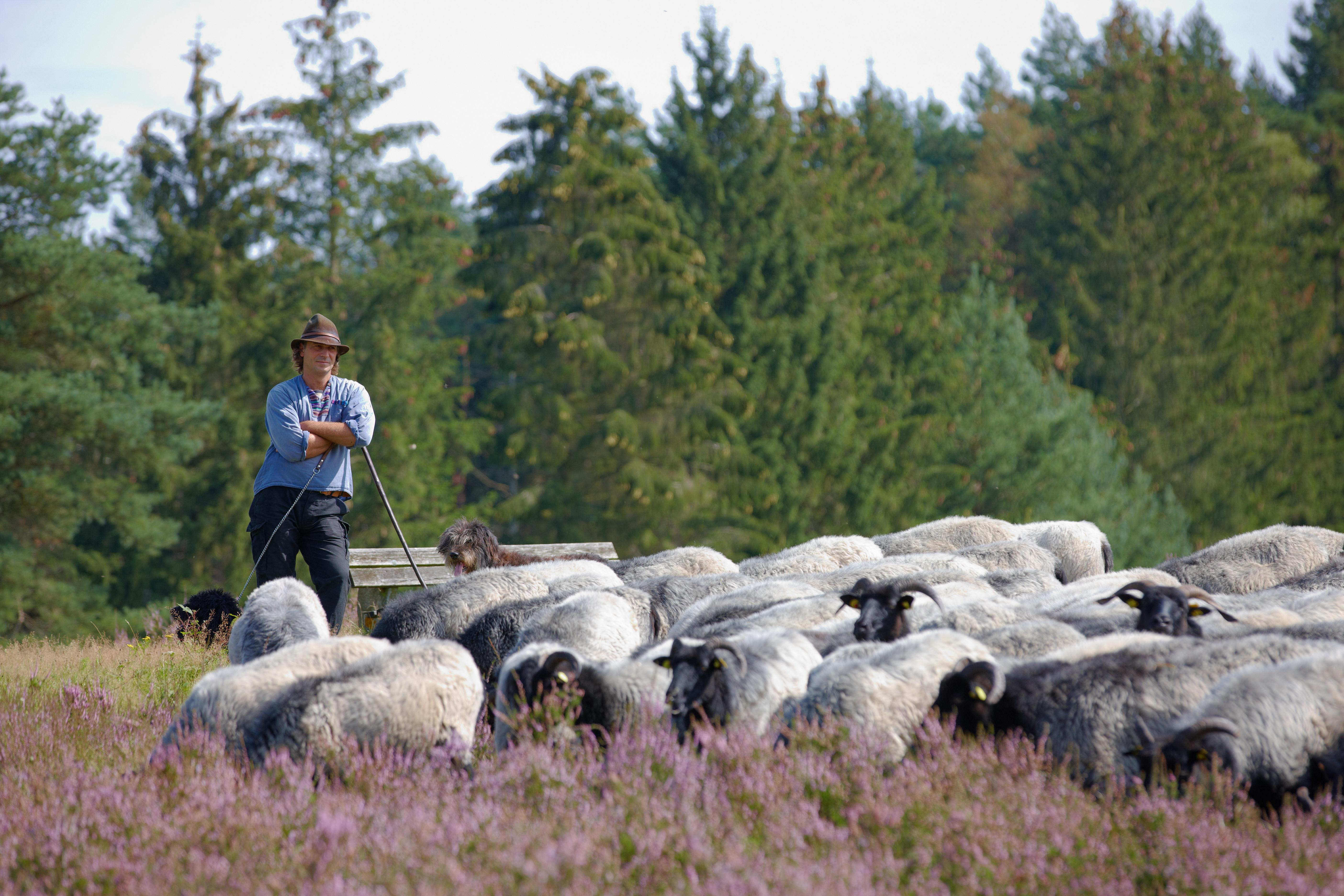 Schäfer Rebre mit seiner Herde